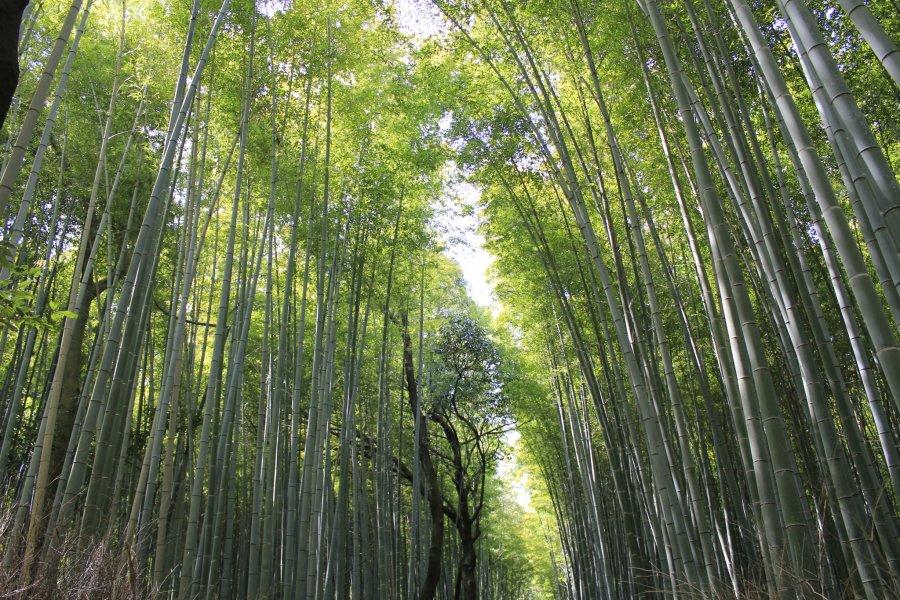 岚山的竹林