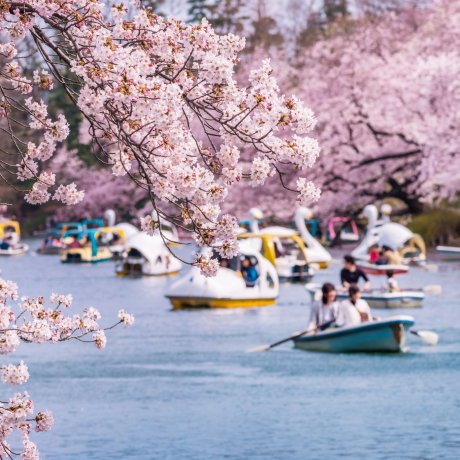 Top 20 Cherry Blossom Spots in Japan